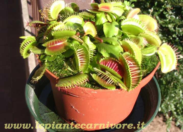 Dionaea muscipula typical for Pianta carnivora dionea
