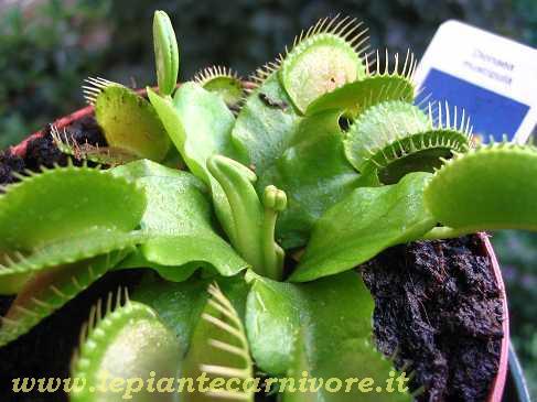 Dionaea muscipula in fiore for Pianta carnivora dionea
