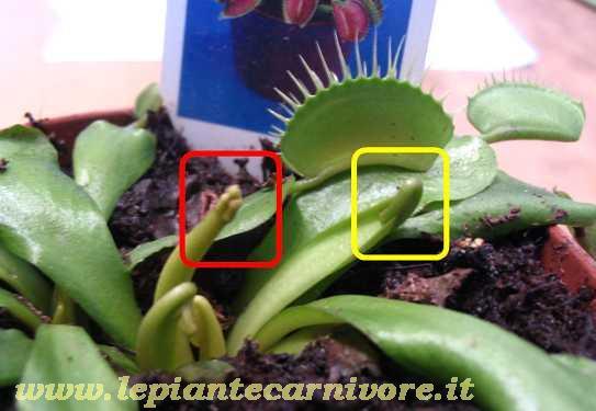 Recidere for Pianta carnivora dionea
